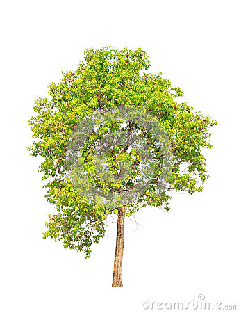 Jambul (Syzygium Cumini), Tropical Tree In Thailand Stock Photo.