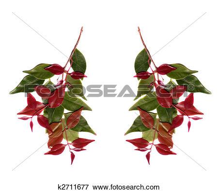 Picture of Syzygium leuhmanii, Riberry foliage ,Australian native.