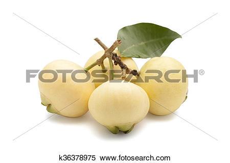 Stock Image of Syzygium jambos or rose apple k36378975.