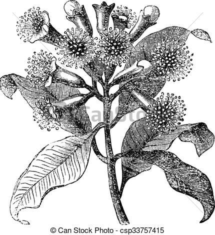 Syzygium clipart #18