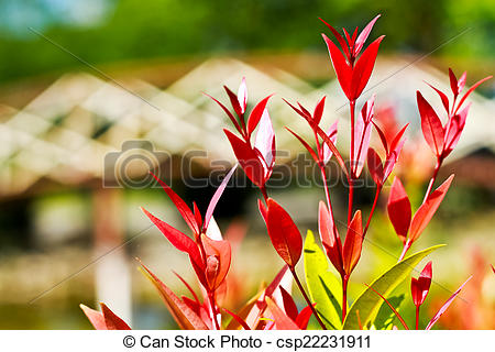 Stock Photography of Christina leaves or tree top of Syzygium.