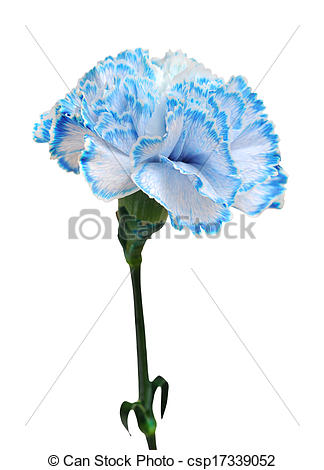 A kék, szegfű, elszigetelt, képben látható, fehér, háttér.