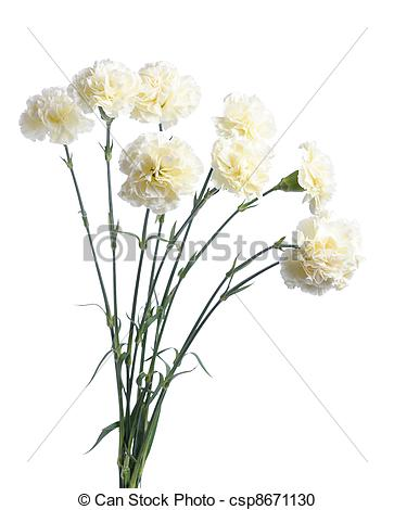 Stock Photography of white carnation.