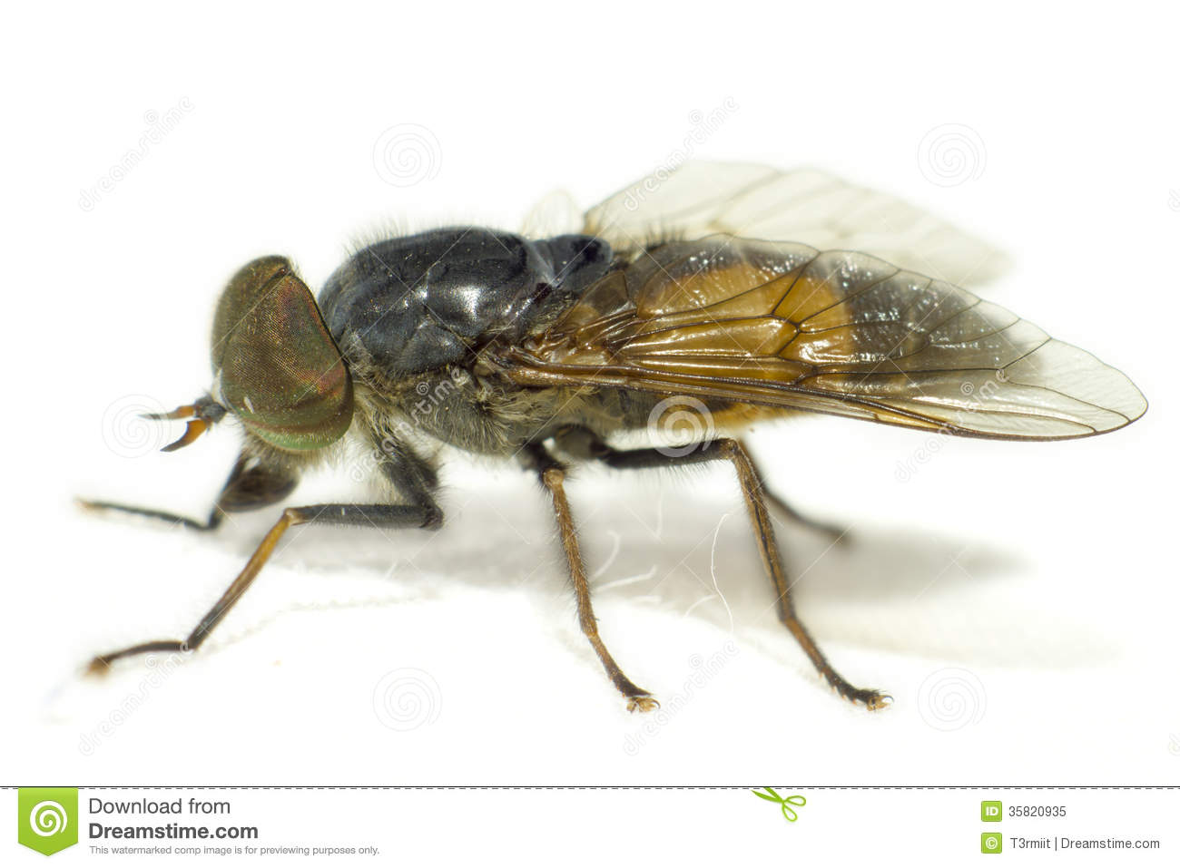 Horse Fly Royalty Free Stock Image.