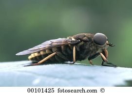 Horsefly Images and Stock Photos. 191 horsefly photography and.