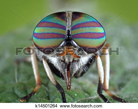 Stock Photo of Tabanidae #4 k14501264.