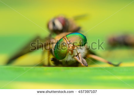 Tabanidae Stock Photos, Royalty.