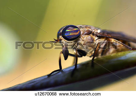 Pictures of design horse horseflies fly bug insect tabanidae.