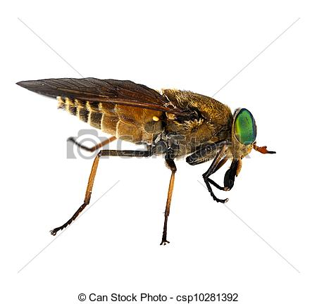 Stock Photographs of Tabanidae Philipomyia aprica.