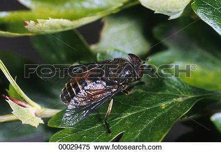 Stock Image of Juniors, Tabanidae, Tabanus, Tabanus bovinus.