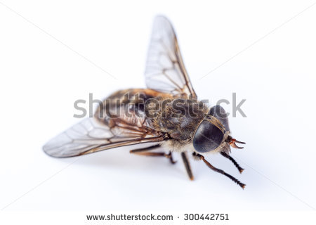 Pale Giant Horse Fly Stock Photos, Royalty.