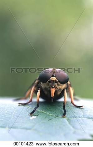 Stock Photo of Juniors, Tabanidae, Tabanus, Tabanus bovinus.
