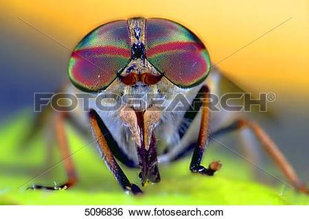 Stock Images of Compound eye of Tabanus bovinus 5096836.