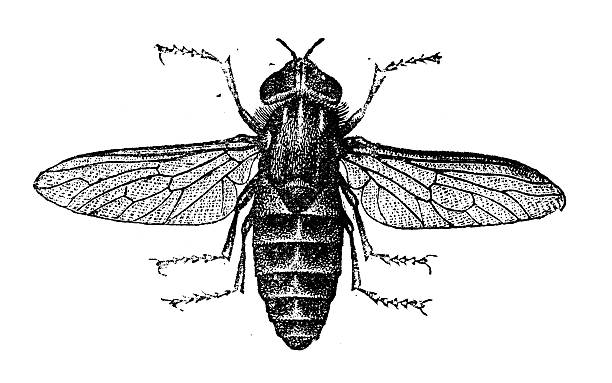Tabanus Bovinus Clip Art, Vector Images & Illustrations.