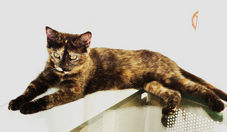 Calico and Tortoiseshell Cat Facts and Photos.