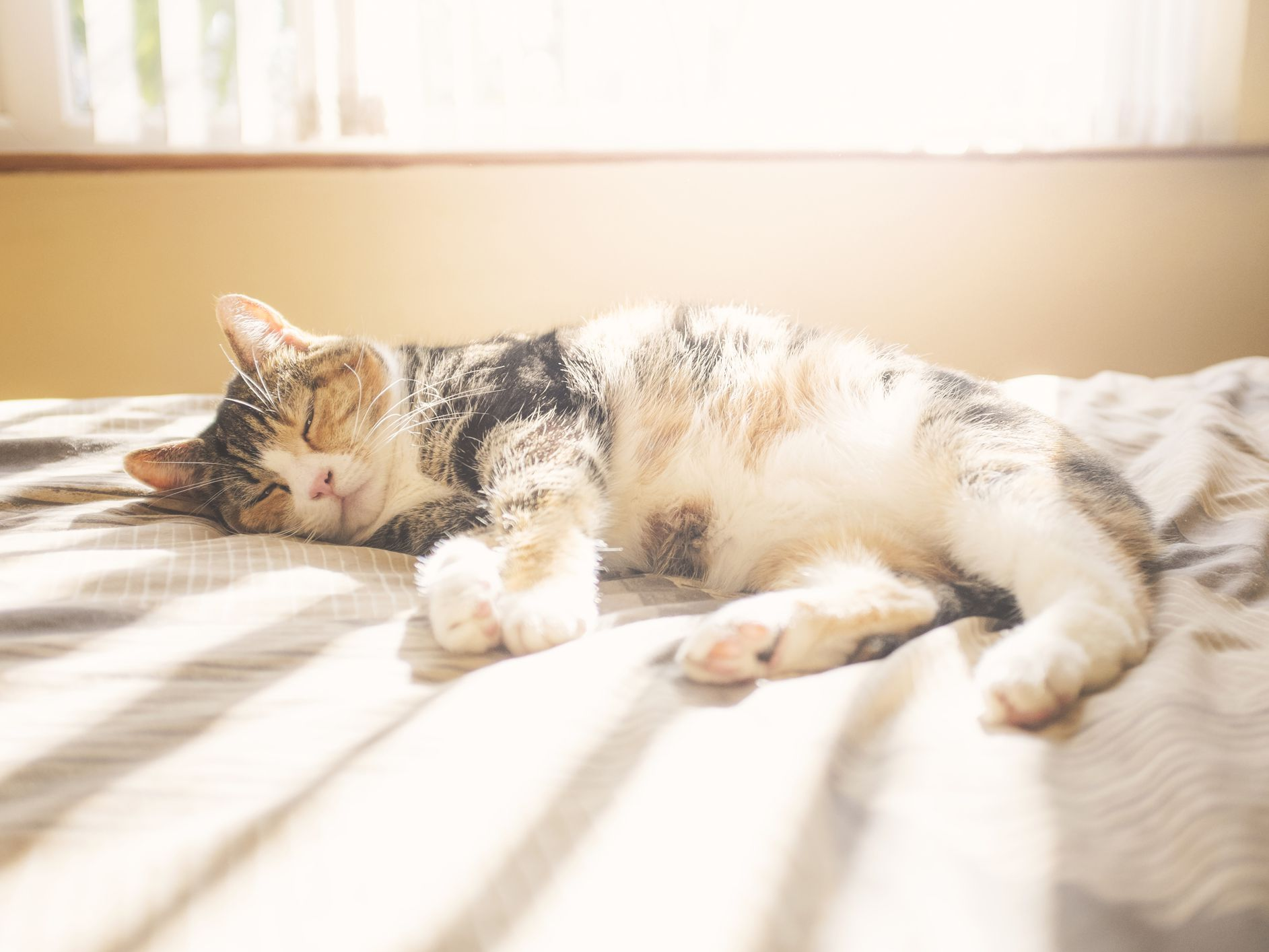 Are Calico Cats Always Female?.