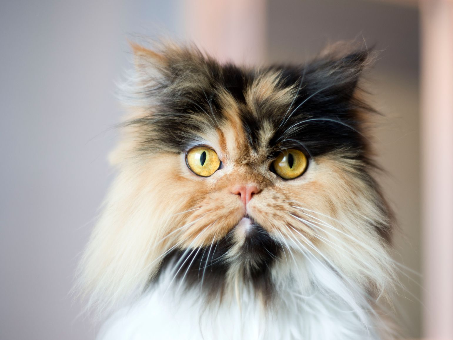 Calico Cats Details and Breeds.