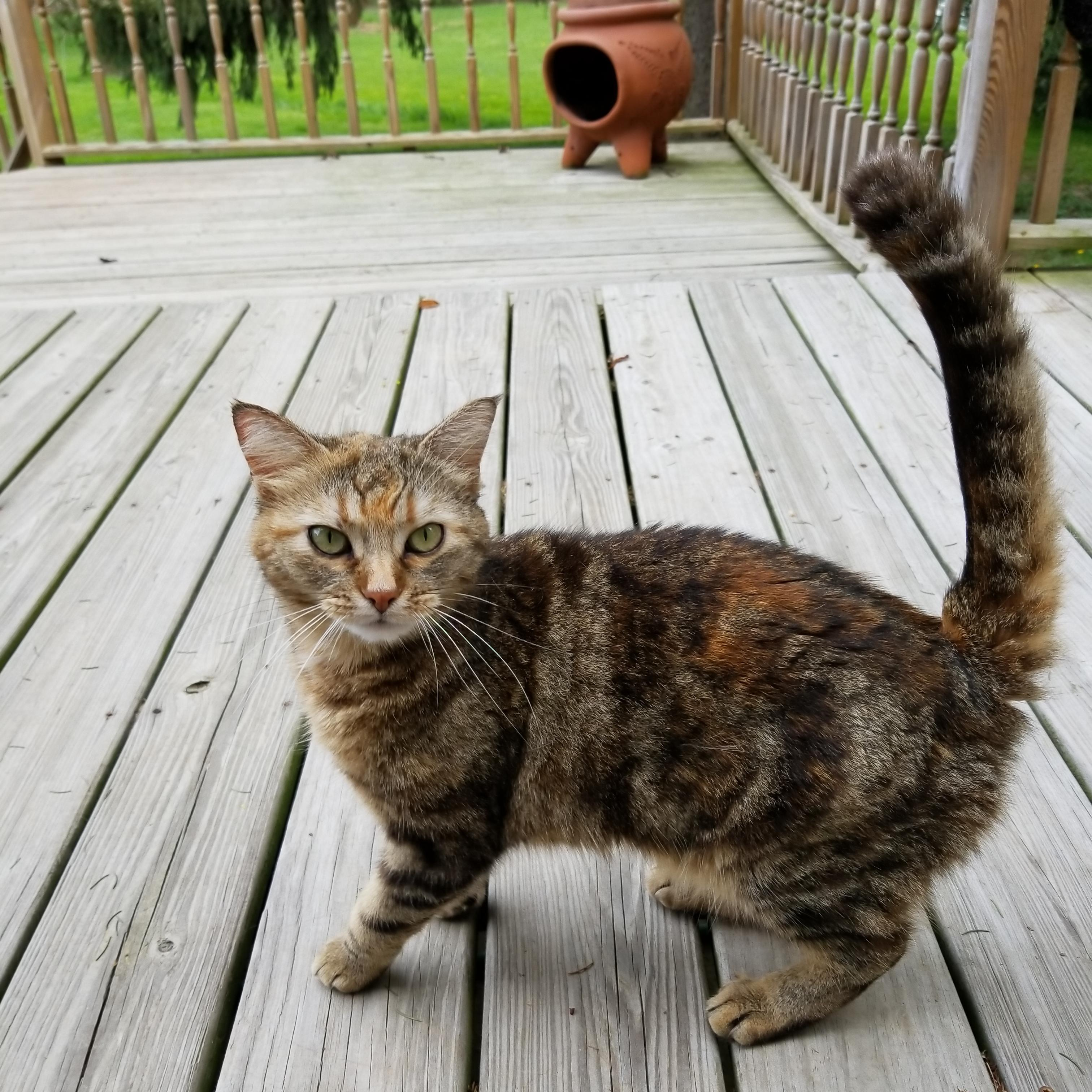 My mom\'s cat\'s fur is a blend of tabby and calico. She looks.