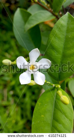 Crape Jasmine Stock Photos, Royalty.