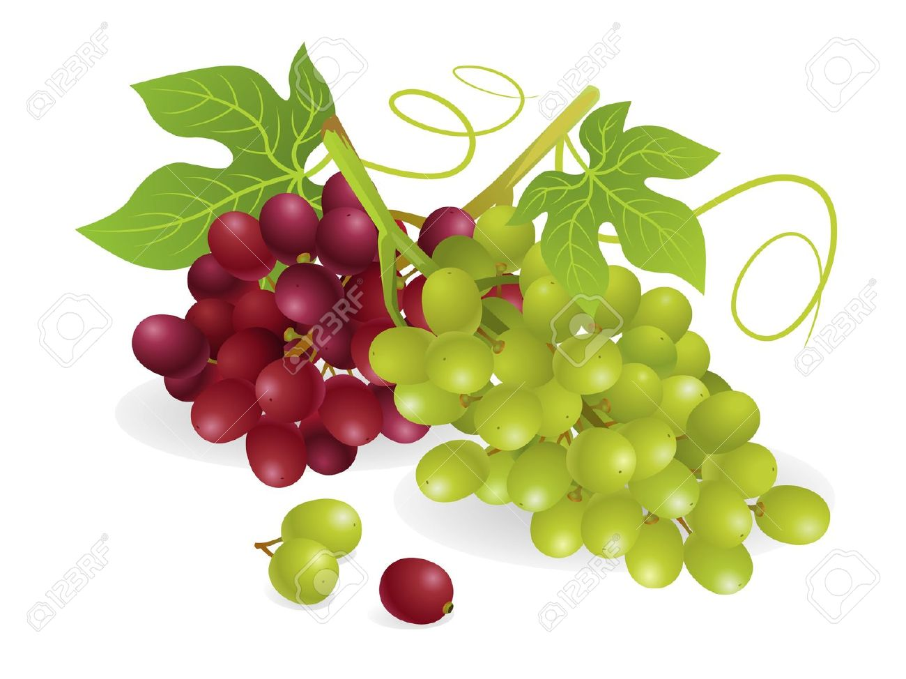Realistic Vector Illustration Of White And Purple Grapes, With.
