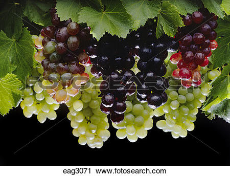 Stock Photography of A variety of TABLE GRAPES eag3071.