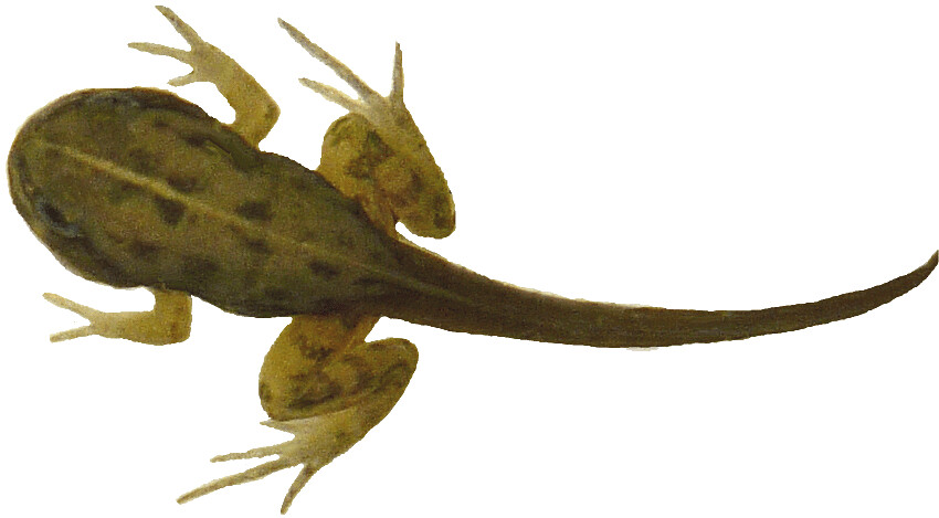 tadpole with 4 legs clipart, 12cm long.