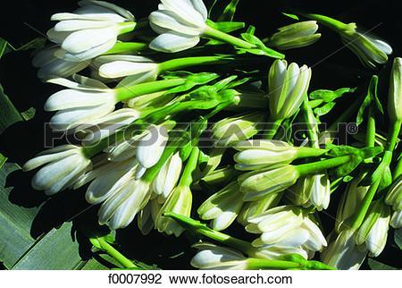 Stock Photo of French Polynesia, Tahiti, Tiare flower (Gardenia.