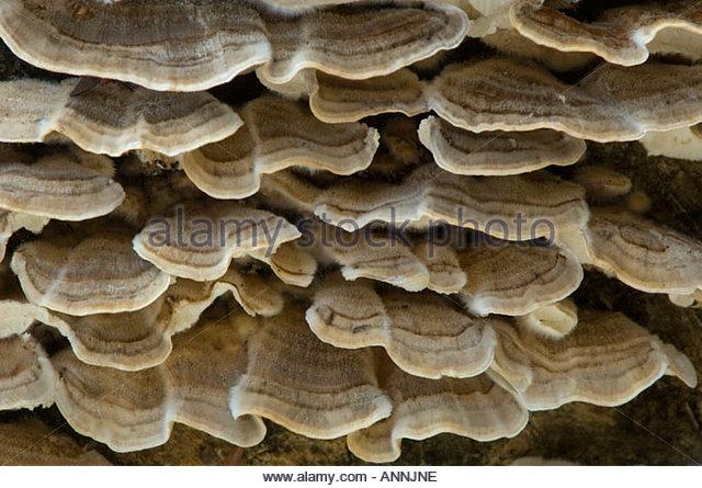 Turkey Tail Fungus Stock Photos & Turkey Tail Fungus Stock Images.