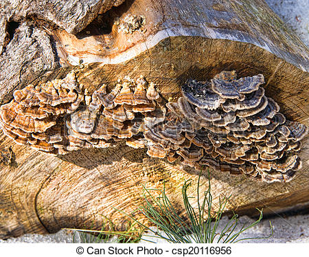 Stock Images of Turkey tail fungus growing on end of log.