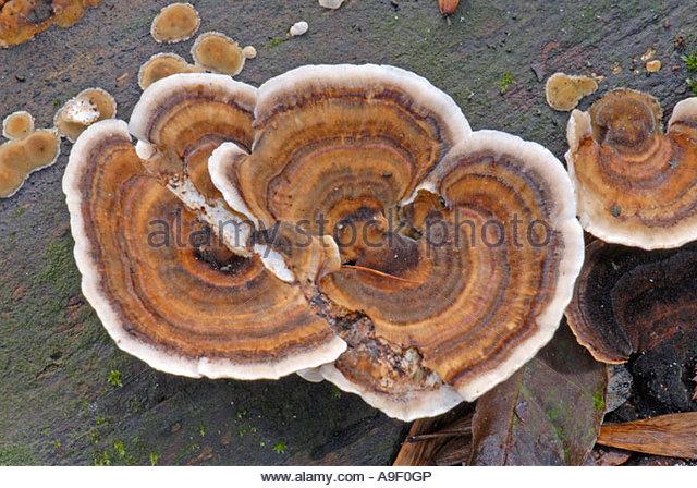 Turkey Tail Mushroom Stock Photos & Turkey Tail Mushroom Stock.