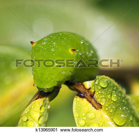 Stock Photography of pupa on branch. Tailed Jay k13965901.