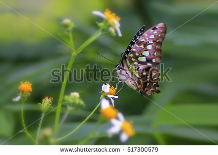 """""""tailed Jay Butterfly"""" Stock Photos, Royalty."""