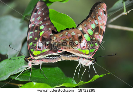 A Pair Of Tailed Jay Butterflies (Graphium Agamemnon) Mating.