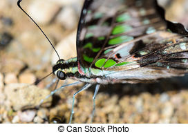 Picture of Close up Tailed Jay butterfly with have green spots on.