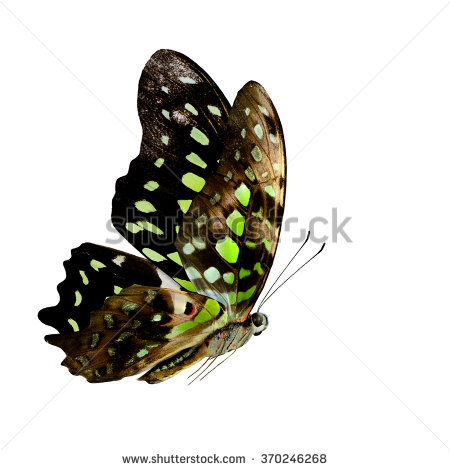 Tailed Jay Butterfly Stock Photos, Royalty.