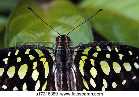 Stock Photograph of Tailed Jay (Graphium agamemnon) butterfly.
