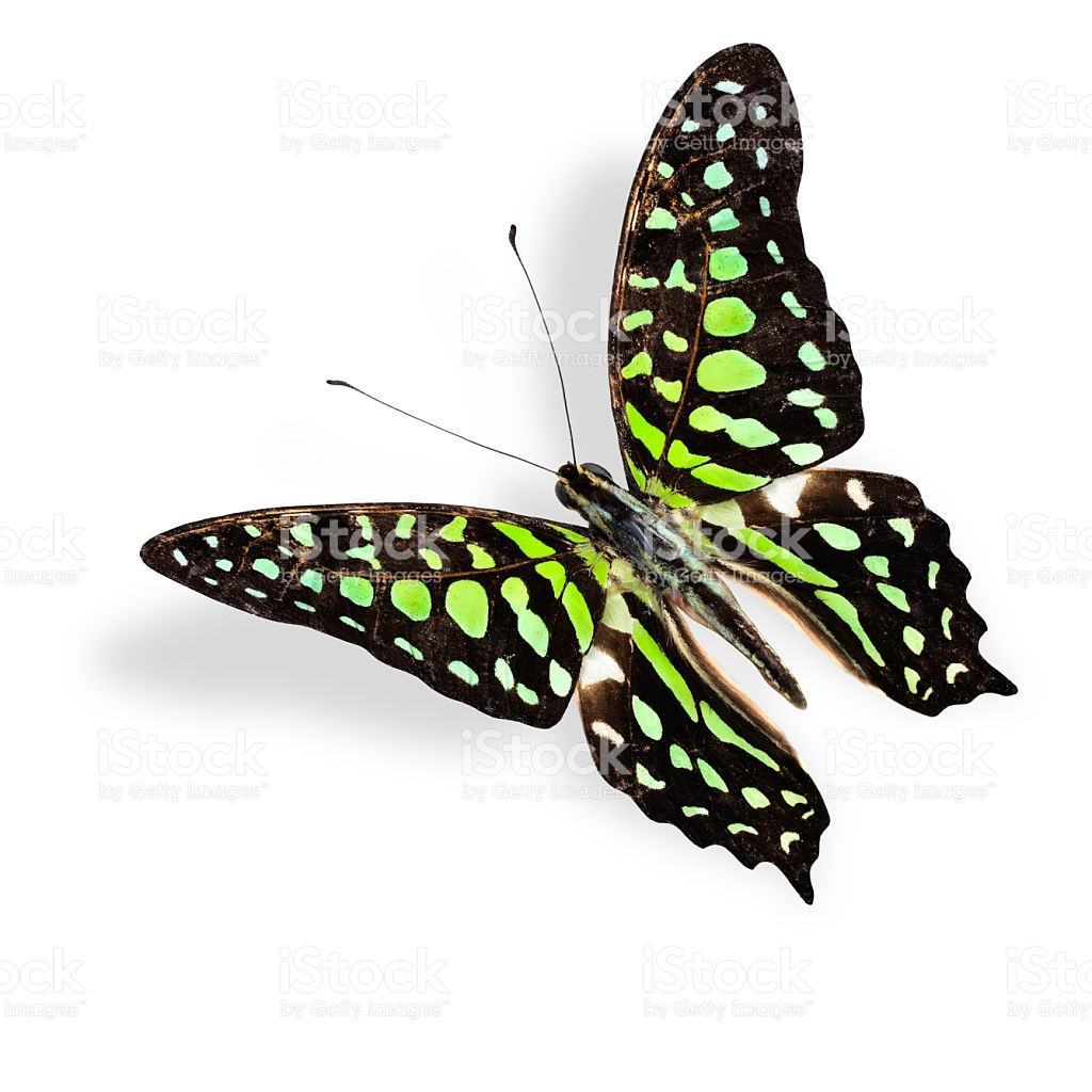 Flying Green Spot Butterfly Tailed Jay With Soft Shadow Beneat.