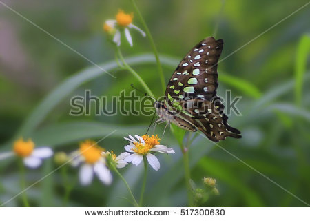 """tailed Jay Butterfly"" Stock Photos, Royalty."