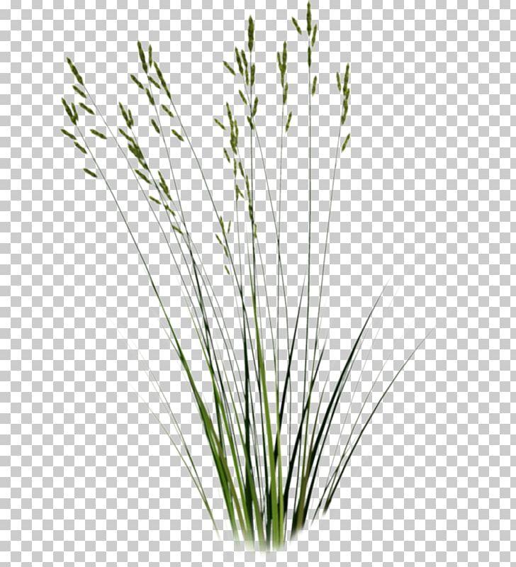Tallgrass Prairie Sweet Grass Plant PNG, Clipart.