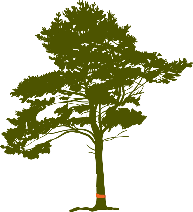 Pine Tree Root.