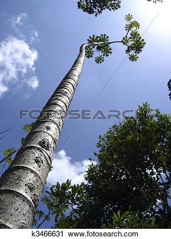 Stock Photography of tall thin trunk central america trees.