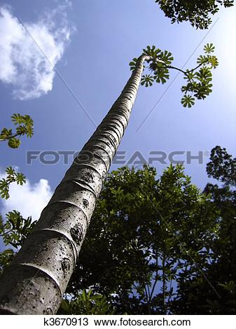 Stock Photo of tall thin trunk central america trees perspective.