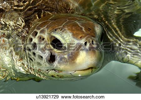 Stock Photograph of Olive Ridley turtle, Lepidochelys olivacea.