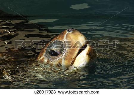 Stock Photo of Loggerhead turtle, Caretta caretta, Centre for sea.