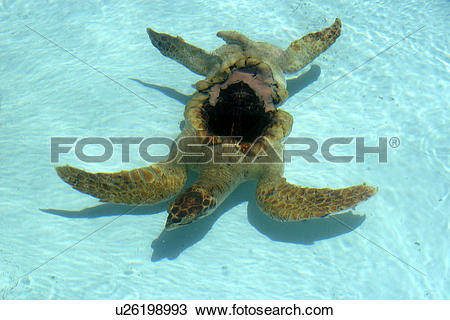 Stock Photo of Green sea turtle (Chelonia mydas) recovers after.