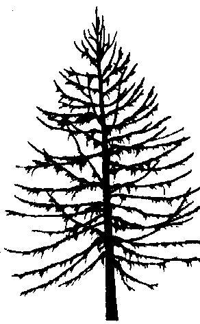 Tamarack tree.