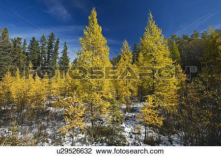 Stock Photo of autumn colours on tamarack trees, Duck Mountain.