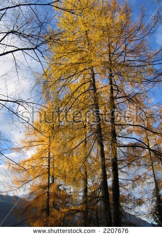 Tamarack Trees Stock Images, Royalty.