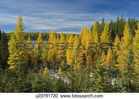 Stock Photography of autumn colours on tamarack trees, Duck.
