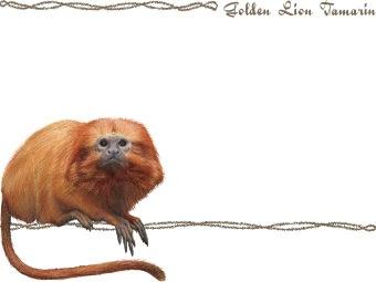 Golden lion tamarin clipart.